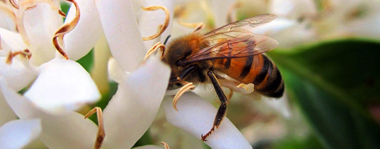 """Abelhas melíferas ficam """"atrapalhadas"""" com manganês na alimentação"""