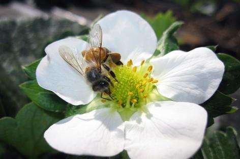 Abelhas e Agricultura