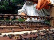 USP Ribeirão Preto recebe o II Workshop Internacional de Meliponicultura