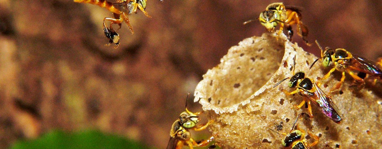 Exposição de insetos do Instituto Biológico apresenta abelhas sem ferrão