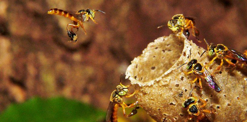 Como a abelha-rainha impõe sua 'coroa' às operárias