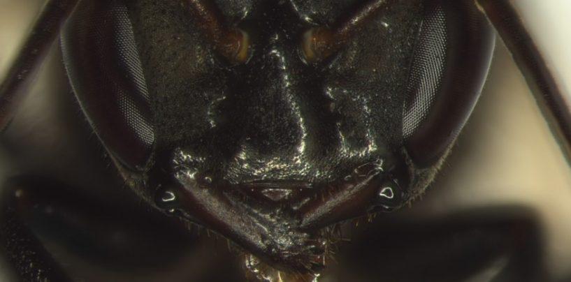Com ataque suicida, abelhas sem ferrão protegem a colônia