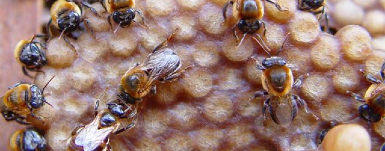 Estudo mapeia variabilidade genética de abelha jandaíra