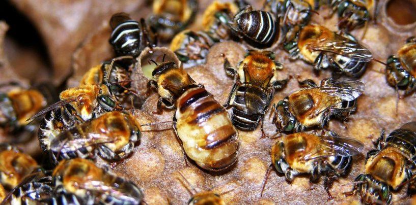 Criação de abelhas nativas pode contribuir para o desenvolvimento sustentável