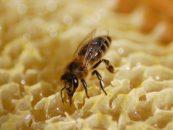 Abelhas melíferas podem sentir o sabor por meio de glândulas nas pernas