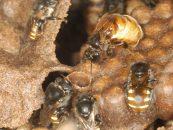 Complexidade genética está por trás de estrutura social de abelhas