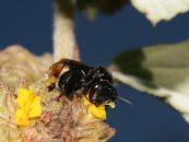 Especial apresenta um raio-X das abelhas sem ferrão