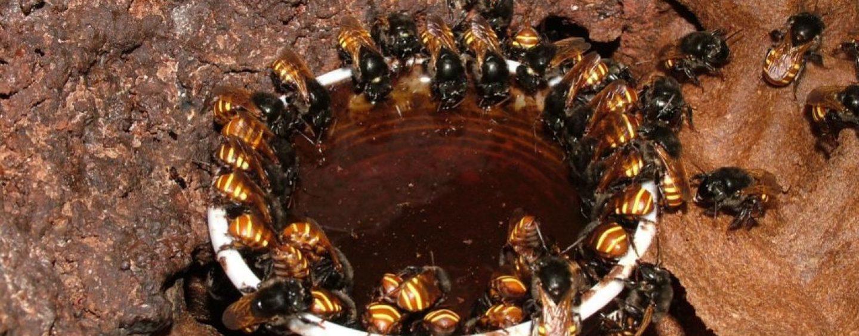 Estudo revela que abelhas sociais sem ferrão alimentam suas larvas com um tipo especial de fungo