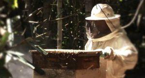 apicultor eucalipto