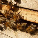 Estudo indica que combinação de defensivos modifica comportamento de abelhas