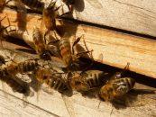 Parasita pode ser responsável pelo desaparecimento de abelhas na Nova Zelândia