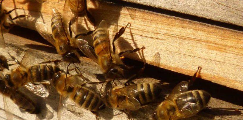 Bactérias do intestino das abelhas rainhas refletem tratamento real