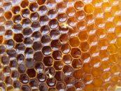 Floresta de eucalipto favorece projeto de apicultura