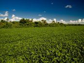 Produtividade da soja pode ser maior com a presença de polinizadores