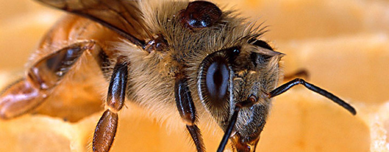 Apicultor inventa método simples para combater ácaro que extermina abelhas