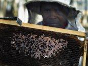 Abelhas da África do Sul correm risco de desaparecer