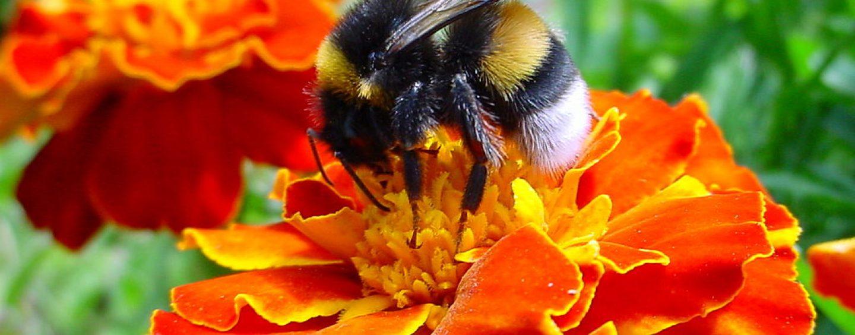 Estudo indica que abelhas selvagens comuns são as mais benéficas para lavouras