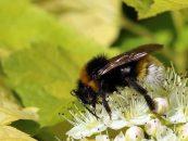 Estudo aponta aquecimento global como principal fator do declínio das abelhas