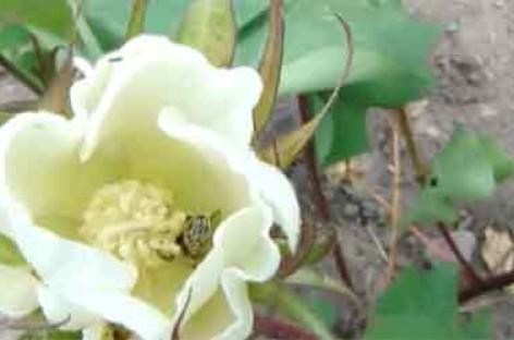 Polinização do algodoeiro por abelhas