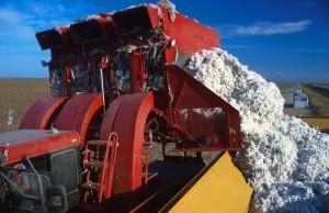 algodão colheita