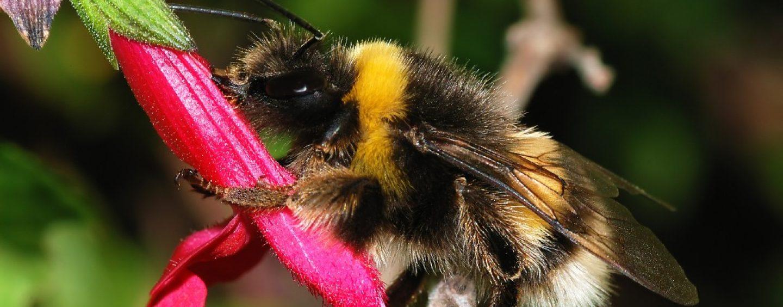 Cientistas procuram por abelha invasora na América do Sul