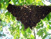 Seleção de abelhas-rainhas melhora sanidade e produção