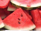 Agricultores adotam a polinização manual na produção de melancia