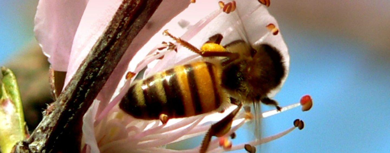Cientistas treinam abelhas para detectar drogas