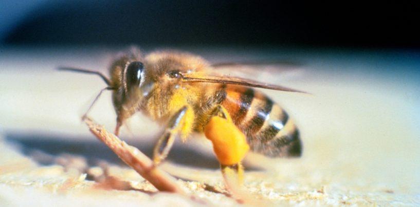 Soro contra picadas de abelhas africanizadas