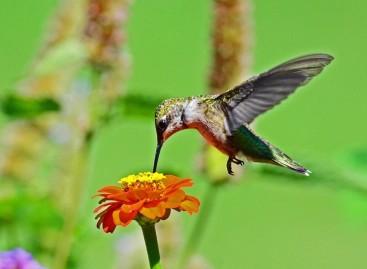 Mudanças climáticas causam alterações no comportamento de beija-flores