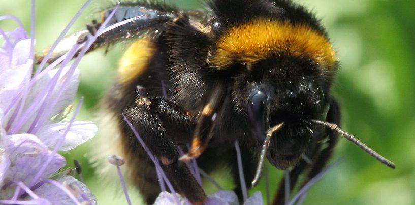 """Células do """"coração"""" de abelhas podem mascarar efeitos de agrotóxicos"""