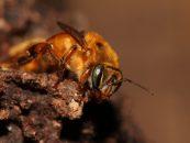 Mel de abelhas nativas pode gerar renda para 1 milhão de agricultores na Amazônia