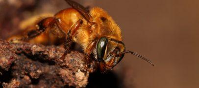 Revista científica publica especial sobre abelhas