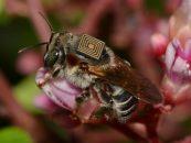 Embrapa implanta microchips em abelhas e monitora três espécies