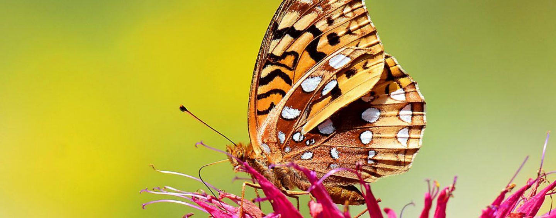 Seis espécies de borboletas inglesas podem entrar em extinção
