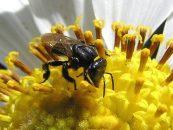 Estudo mapeia 214 espécies de abelhas