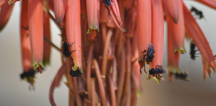O papel das abelhas irapuás como polinizadores na agricultura e em habitats degradados
