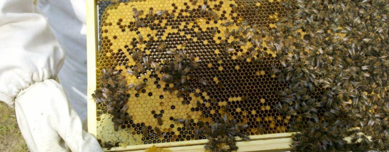 Projeto entregará segundo lote de rainhas de alta qualidade genética a apicultores