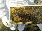 Linhas de crédito para apicultores podem ser aliadas na expansão do negócio