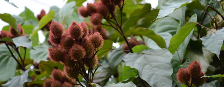 Sistemas Agroflorestais favorecem a polinização feita por abelhas silvestres