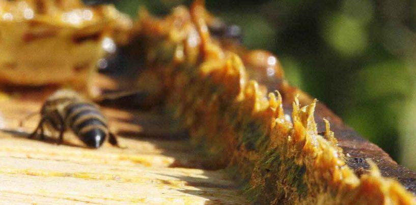 Pesquisa da Embrapa busca diversificar a produção apícola