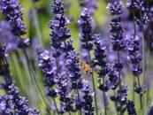 Odores de flores reduzem a resposta agressiva das abelhas frente a ameaças