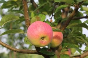 maçã-1