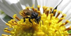 abelha sem ferrão