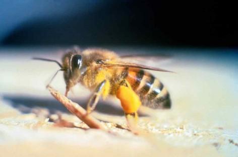 Autorizados testes em humanos de soro contra o veneno de abelhas