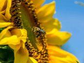 Empresa quer usar abelhas para distribuir agrotóxico