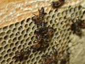 Cientistas identificam reprodução de abelhas sem participação do macho