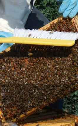 Iniciativa busca combater a mortalidade das abelhas
