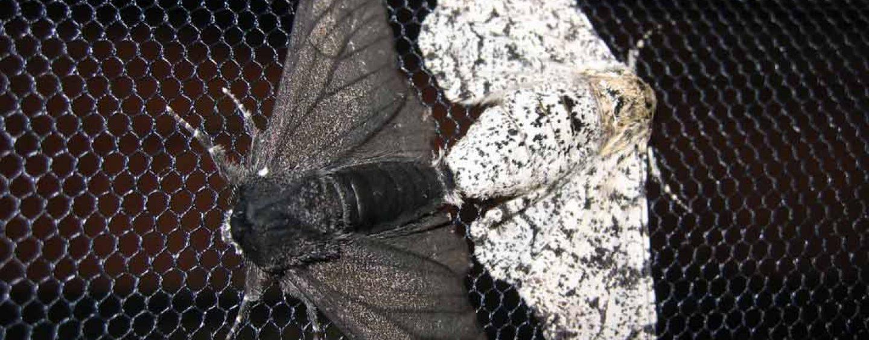 Mutação que criou mariposa negra na revolução industrial é identificada
