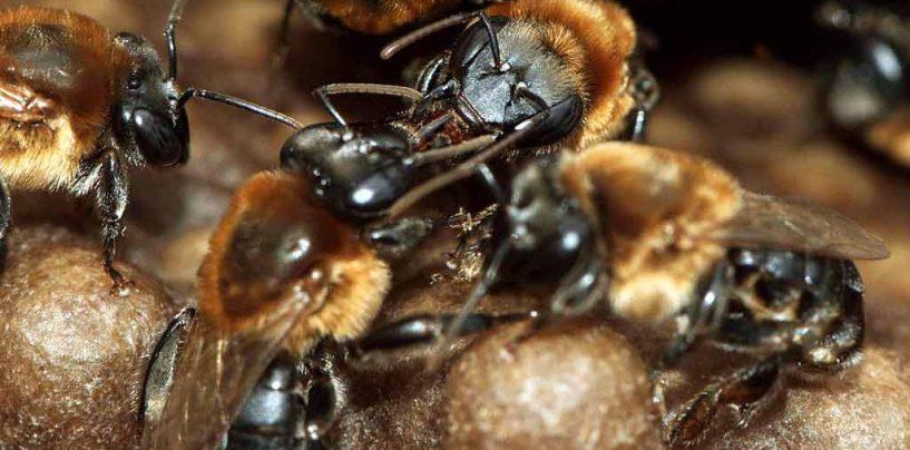 Transporte de colônias afeta a estrutura genética de abelhas sem ferrão